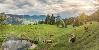 Feel Austria - Österreich - Mi 16.05.2018 - Kühe auf der Weide bei Wörschach Irdning Alm, Landwirtschaft, 37