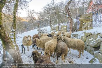 Fotoshooting Silvia Schneider - Div. Locations Österreich - Mo 25.02.2019 - Schafe, Schafherde im Schnee74