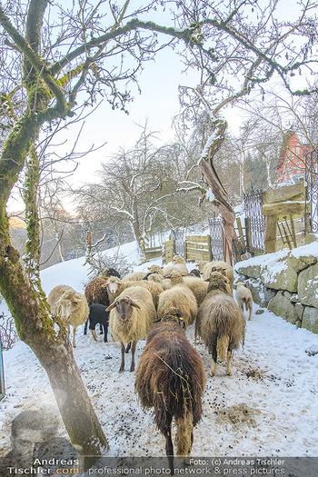 Fotoshooting Silvia Schneider - Div. Locations Österreich - Mo 25.02.2019 - Schafe, Schafherde im Schnee75