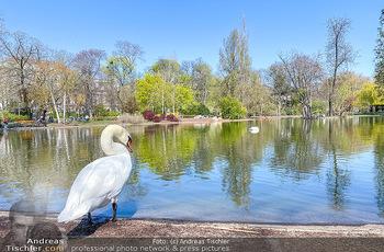 Corona Feature - Wien, NÖ - So 05.04.2020 - weißer Schwan genießt die Ruhe am Wasser Teich im Wiener Stadt74