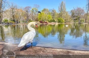 Corona Feature - Wien, NÖ - So 05.04.2020 - weißer Schwan genießt die Ruhe am Wasser Teich im Wiener Stadt75