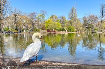 Corona Feature - Wien, NÖ - So 05.04.2020 - weißer Schwan genießt die Ruhe am Wasser Teich im Wiener Stadt77