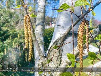Birkenpollen Feature - Niederösterreich - Do 09.04.2020 - Birkenpollen Birken Baumstamm Baumkrone Idylle Natur Erholung Po1