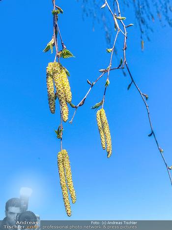 Birkenpollen Feature - Niederösterreich - Do 09.04.2020 - Birkenpollen Birken Baum Pollensaison Hochsaison für Allergiker3
