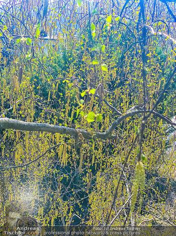 Birkenpollen Feature - Niederösterreich - Do 09.04.2020 - Birkenpollen Birken Baum Pollensaison Hochsaison für Allergiker10