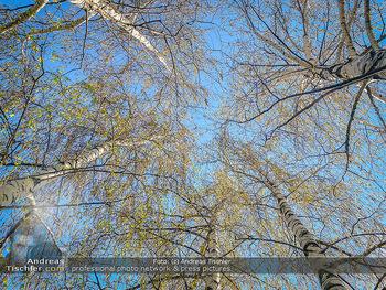 Birkenpollen Feature - Niederösterreich - Do 09.04.2020 - Birkenpollen Birken Baumstamm Baumkrone Idylle Natur Erholung Po13