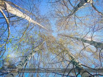 Birkenpollen Feature - Niederösterreich - Do 09.04.2020 - Birkenpollen Birken Baumstamm Baumkrone Idylle Natur Erholung Po14