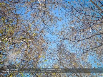 Birkenpollen Feature - Niederösterreich - Do 09.04.2020 - Birkenpollen Birken Baumstamm Baumkrone Idylle Natur Erholung Po15