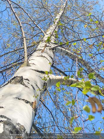 Birkenpollen Feature - Niederösterreich - Do 09.04.2020 - Birkenpollen Birken Baumstamm Baumkrone Idylle Natur Erholung Po17