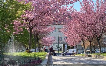 Frühling Feature - Wien und Niederösterreich - So 12.04.2020 - blühender Zierkirsche Baum rosa pink blühend Frühling Natur B1