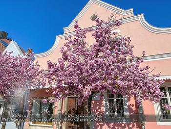 Frühling Feature - Wien und Niederösterreich - So 12.04.2020 - blühender Zierkirsche Baum pink blühend Frühling Natur Bäume3