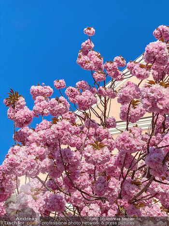 Frühling Feature - Wien und Niederösterreich - So 12.04.2020 - blühender Zierkirsche Baum rosa pink blühend Frühling Natur B4