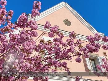 Frühling Feature - Wien und Niederösterreich - So 12.04.2020 - blühender Zierkirsche Baum pink blühend Frühling Natur Bäume5