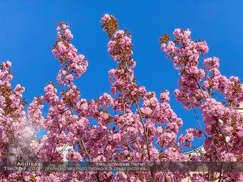 Frühling Feature - Wien und Niederösterreich - So 12.04.2020 - blühender Zierkirsche Baum rosa pink blühend Frühling Natur B6