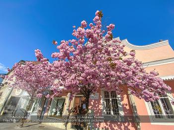 Frühling Feature - Wien und Niederösterreich - So 12.04.2020 - blühender Zierkirsche Baum rosa pink blühend Frühling Natur B7