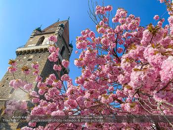 Frühling Feature - Wien und Niederösterreich - So 12.04.2020 - blühender Zierkirsche Baum rosa pink blühend Frühling Natur B8