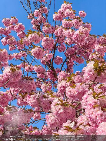 Frühling Feature - Wien und Niederösterreich - So 12.04.2020 - blühender Zierkirsche Baum rosa pink blühend Frühling Natur B9