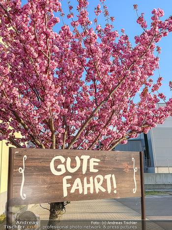 Frühling Feature - Wien und Niederösterreich - So 12.04.2020 - Gute Fahrt Schild blühender Zierkirsche Baum pink blühend Frü10