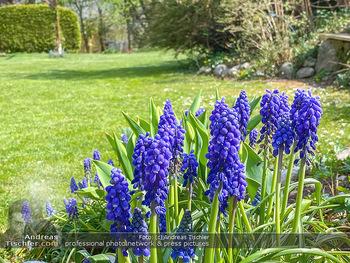 Frühling Feature - Wien und Niederösterreich - So 12.04.2020 - Rauchfangkehrer Gartenblumen Garten Frühling garteln Blumen Ver13