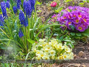 Frühling Feature - Wien und Niederösterreich - So 12.04.2020 - Rauchfangkehrer Primeln Gartenblumen Garten Frühling garteln Bl14