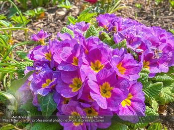 Frühling Feature - Wien und Niederösterreich - So 12.04.2020 - Primeln gelb viollett Gartenblumen Garten Frühling garteln Blum16