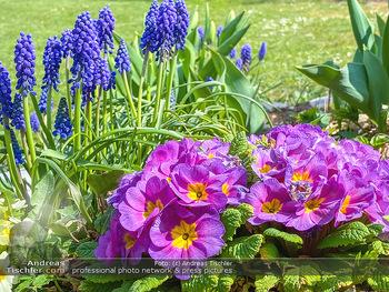 Frühling Feature - Wien und Niederösterreich - So 12.04.2020 - Rauchfangkehrer Primeln Gartenblumen Garten Frühling garteln Bl17