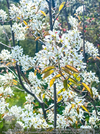 Frühling Feature - Wien und Niederösterreich - So 12.04.2020 - Birnenbaum Blüte weiß Garten Frühling garteln Blumen Verschö19