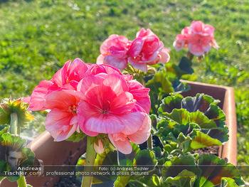 Frühling Feature - Wien und Niederösterreich - So 12.04.2020 - rote Begonien Pelargonien Blumenkisterl Gartenblumen Garten Frü21