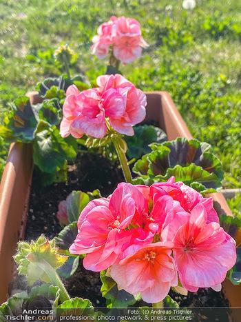 Frühling Feature - Wien und Niederösterreich - So 12.04.2020 - rote Begonien Pelargonien Blumenkisterl Gartenblumen Garten Frü22