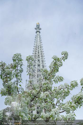 Lokalaugenschein Wien - Wien - Mo 12.04.2021 - Blühender Baum im Votivpark vor der Votivkirche3