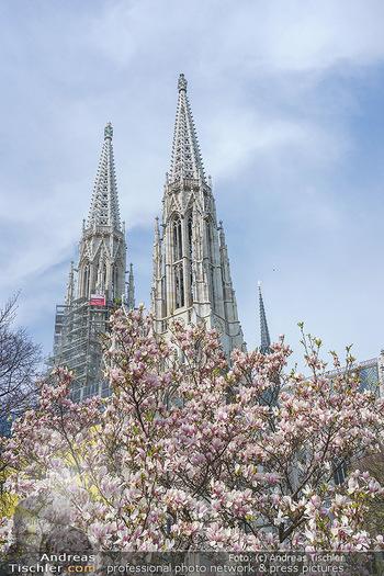 Lokalaugenschein Wien - Wien - Mo 12.04.2021 - Blühender MagnolienBaum Strauch im Votivpark vor der Votivkirch6