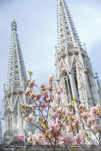 Lokalaugenschein Wien - Wien - Mo 12.04.2021 - Blühender MagnolienBaum Strauch im Votivpark vor der Votivkirch7