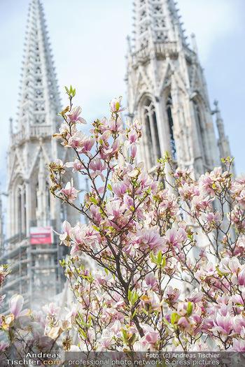 Lokalaugenschein Wien - Wien - Mo 12.04.2021 - Blühender MagnolienBaum Strauch im Votivpark vor der Votivkirch8