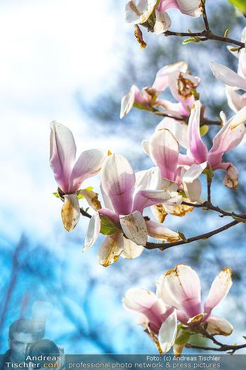 Lokalaugenschein Wien - Wien - Mo 12.04.2021 - Magnolie Magnolienblüten10