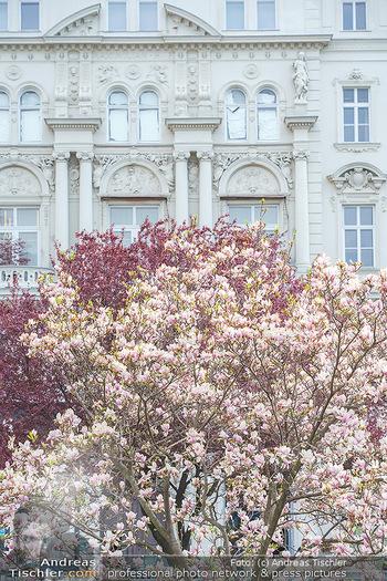 Lokalaugenschein Wien - Wien - Mo 12.04.2021 - Blühender MagnolienBaum Strauch im Votivpark vor der Votivkirch11