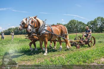 Biofeldtage Tag 2 - Seehof, Donnerskirchen - Sa 07.08.2021 - Feldarbeit Landwirtschaft mit Pferden (Haflinger), früher, hist1