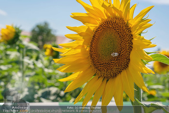 Biofeldtage Tag 2 - Seehof, Donnerskirchen - Sa 07.08.2021 - Pannatura Sonnenblume163