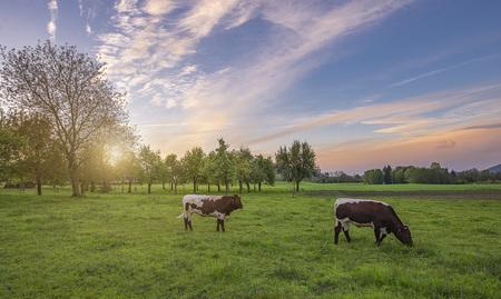 Österreich Natur Landschaft Tourismus Sommer Herbst Frühling Urlaub Salzburg Salzkammergut Kühe Alm Bio - Kühe auf grüner Wieso, Biologisch Bio Landwirtschaft Sonne Ges by Andreas Tischler