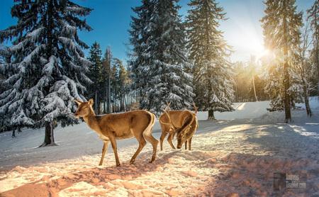 Rehe, Wild in der Natur, Winterlandschaft, Idylle, Jagd - Rehe, Wild in der Natur, Winterlandschaft, Idylle, Jagd by Andreas Tischler